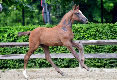 Breeders motivated for Flanders Foal Auction Bonheiden