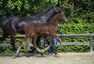 Flanders Foal Auction team dendert door naar Bonheiden