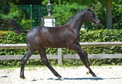 Cobelensky to 3rd phase BWP Stallion Selection