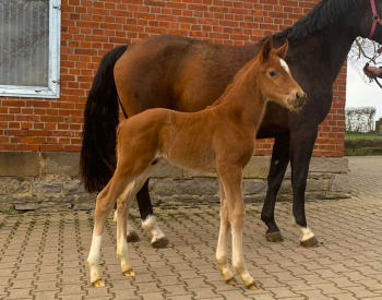 Colt by Comme il Faut x dam of Catch me if you Can (here with surrogate mare)