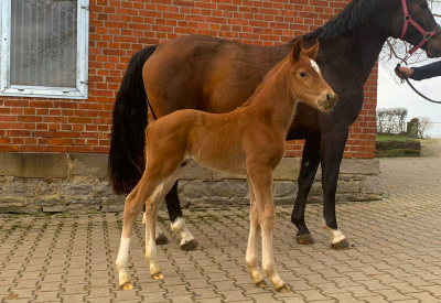 Flanders Foal Auction in mei op Jumping Schröder Tubbergen
