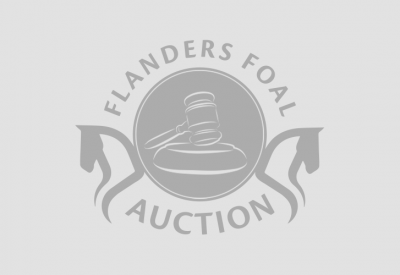 Flanders Foal Auction is preparing for Bolesworth Elite Auction