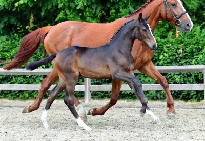 Flanders Foal Auction goes live in Beervelde