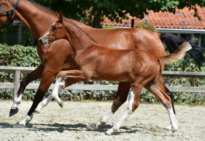 Flanders Foal Auction presents embryo out of full sister Cornet Obolensky