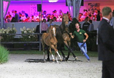 Flanders Foal Auction continues its auction