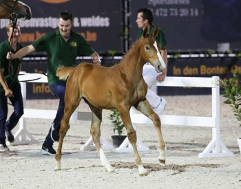 Orange van de Kalevallei (For Pleasure x Nabab de Reve). Foto Wendy Scholten