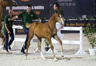 Flanders Foal Auction in Bonheiden maintains sharp prices