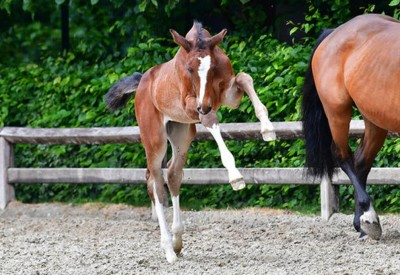 Flanders Foal Auction moves to SentowerPark