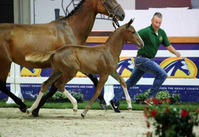 Flanders Foal Auction organisers speechless after record auction