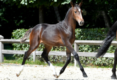 Belgian best jumping genes for sale