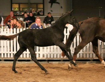 55,000 euro for trotter foal, 20,000 for showjumping foal