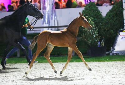 Flanders Foal Auction prijzen schieten door plafond in Beervelde